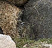 Marmota Imagens de Stock