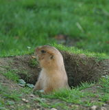 Marmota Foto de archivo