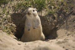 Marmota Fotografía de archivo