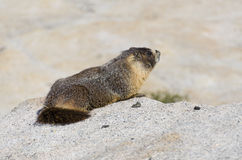 Marmota Foto de Stock Royalty Free