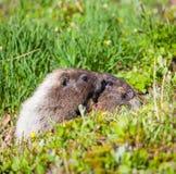 Marmota Imágenes de archivo libres de regalías