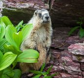 Marmota Foto de Stock Royalty Free