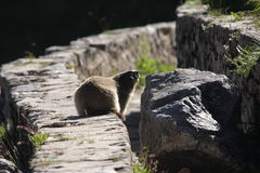 Marmota Fotos de archivo