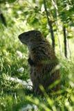 Marmota 4 Imagenes de archivo