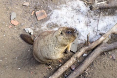 marmota fotos de stock royalty free