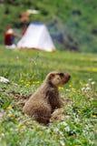 Marmota Imagem de Stock