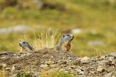 2 marmota Fotos de Stock Royalty Free