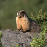 Marmota Fotografia de Stock Royalty Free