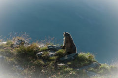 Marmota Photographie stock