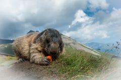 Marmota Fotografia Stock Libera da Diritti