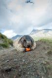 Marmota Fotografía de archivo libre de regalías