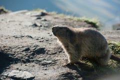 Marmota Fotografia Stock