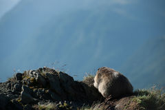 Marmota Royaltyfria Bilder
