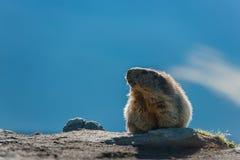 Marmota Stockfotografie