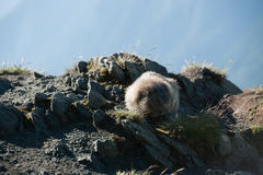 Marmota Lizenzfreies Stockbild