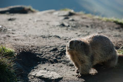 Marmota Stockfotos