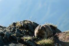 Marmota Lizenzfreie Stockbilder