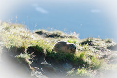 Marmota Immagini Stock Libere da Diritti