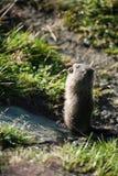 Marmota Lizenzfreie Stockfotografie