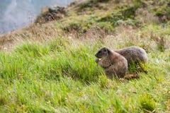 Marmota Arkivbild