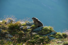 Marmota Stockbild