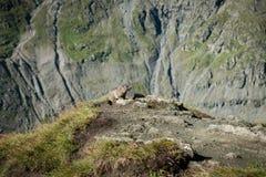 Marmota Stockfoto