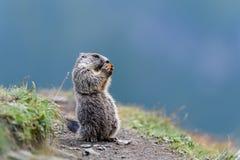 Marmota Obrazy Royalty Free