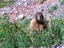 Marmota alerta foto de archivo