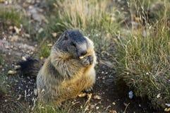 Marmota alpestre Foto de archivo