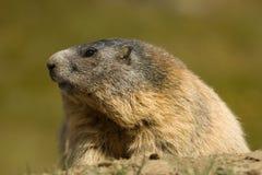 Marmota alpestre fotografía de archivo