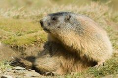 Marmota alpestre imagen de archivo