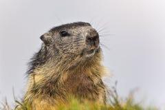 Marmota alpestre Fotos de archivo libres de regalías