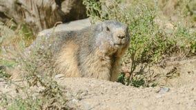 Marmota alpestre imagen de archivo libre de regalías
