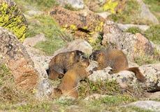 Marmota alpestre Imágenes de archivo libres de regalías