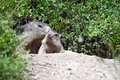 Marmota alpestre del bebé Imagen de archivo libre de regalías