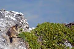 Marmota alpestre en roca Imagenes de archivo