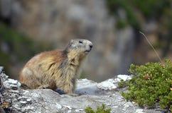 Marmota alpestre en roca Imagen de archivo