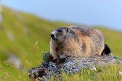 Marmota alpestre (marmota del Marmota) Imagenes de archivo