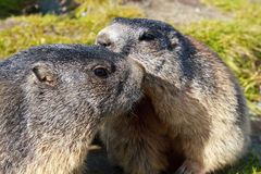 Marmota alpestre (marmota del Marmota) Fotografía de archivo libre de regalías