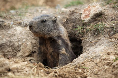 Marmota alpestre (marmota del Marmota) fotos de archivo libres de regalías