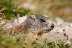 Marmota alpina Fotografia de Stock Royalty Free