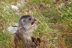 Marmota alpina Fotografia de Stock