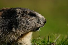 Marmota alpina Foto de archivo