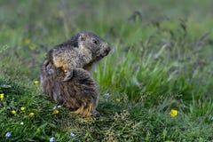 Marmota alpina Imagens de Stock