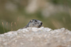 Marmota alpina Fotos de Stock Royalty Free