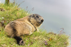 Marmota alpina Imagem de Stock Royalty Free