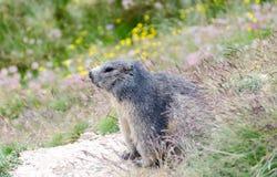 Marmota alpina Foto de Stock Royalty Free