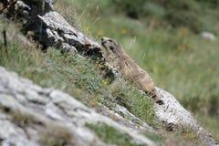 Marmota alpina Fotos de Stock Royalty Free