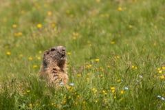 Marmota alpina alerta Imágenes de archivo libres de regalías