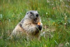 Marmota alpina com uma cenoura nas garras que fazem um grito de advertência imagem de stock